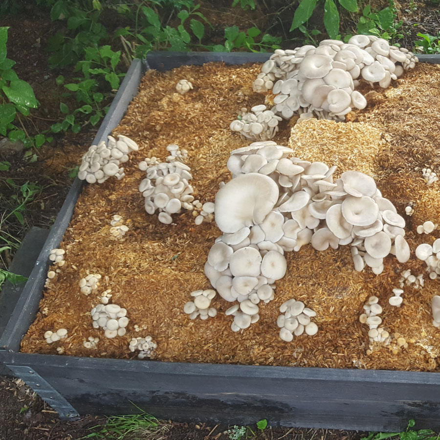 A mushroom bed made with the spent oyster mushroom substrate of Helsieni
