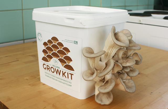 Oyster mushrooms growing in Helsieni Growkit